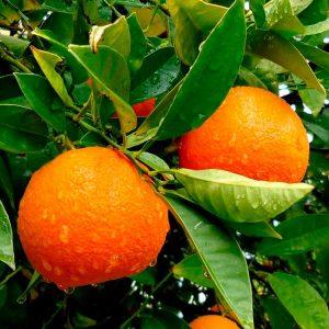 СО2 экстракт Апельсин (эмульсия ЭМА)